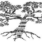 olive-tree-of-israel