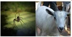 Hybrid Spider Goats 300x154 Part Sixteen: Man Becoming His Own God Via Transhumanism